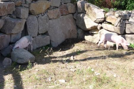 Gladere grise end dem på Katholt findes næppe. (Foto: JayJay)